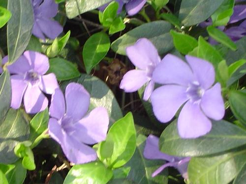 Foto: Barvínek menší