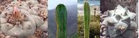 Foto: Ariocarpus retusus