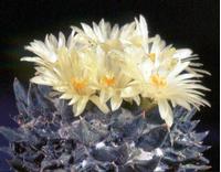 Foto: Ariocarpus scapharostrus