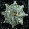 Foto: Astrophytum capricorne