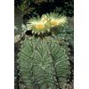 Foto: Astrophytum ornatum