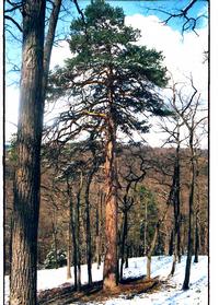 Foto: Borovice lesní