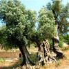 Foto: Olivovník  evropský