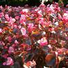 Foto: Begonie ozdobné květem