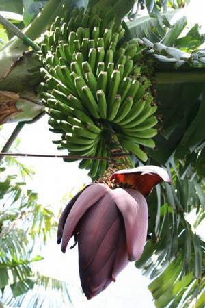 Foto: Banánovník