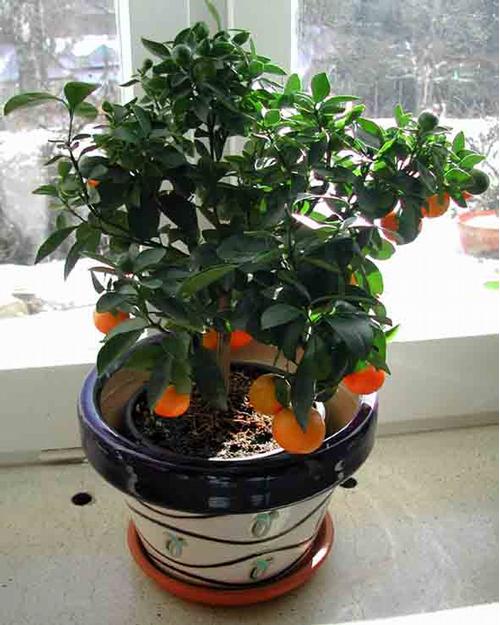 Foto: Pomerančovník zakrslý