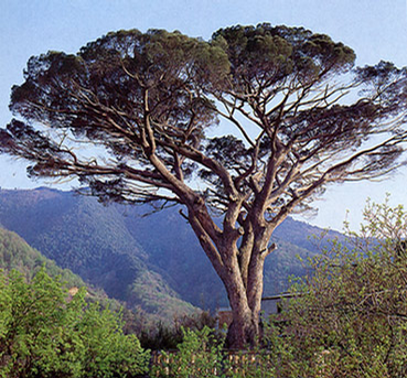 Foto: Borovice pinie