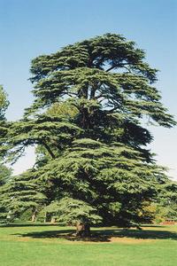 Foto: Cedr libanonský
