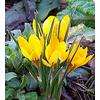 Foto: Šafrán žlutý