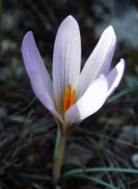 Foto: Šafrán jarní