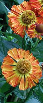 Foto: Záplevák zahradní