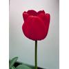 Foto: Tulipán- kultivary