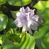 Foto: Hyacint východní