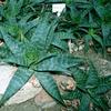 Foto: Aloe pravá