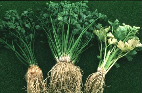 Foto: Miřík celer