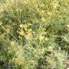Foto: Ločidlo čertovo lejno