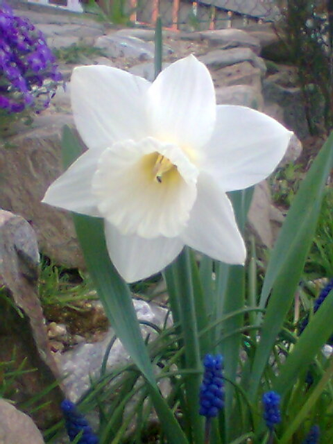 Foto: Narcis bílý