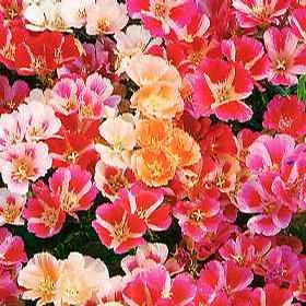 Foto: Zářivka velkokvětá