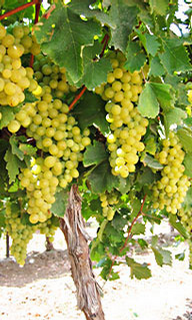 Foto: Vinná réva