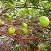 Foto: Citroník kyselý jalm