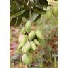 Foto: Mangovník indický