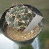 Foto: Gymnocalycium baldianum