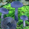 Foto: Pavučinec fialový