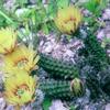 Foto: Echinocereus