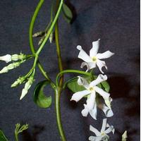 Foto: Trachelospermum jasminoides
