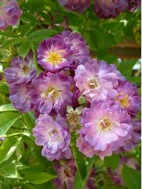 Foto: Růže kultivar ´veilchenblau´