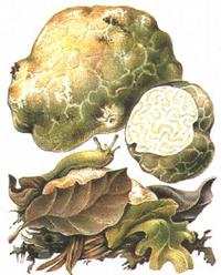 Foto: Bělolanýž obecný