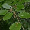 Foto: Buk lesní