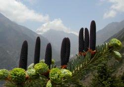 Foto: Jedle himálajská
