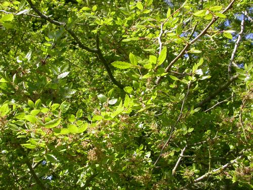Foto: Quercus abelicea