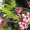 Foto: Chamelaucium háčkovité