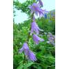 Foto: Zvonovec liliolistý