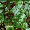 Foto: Mřížkovec kuželovitý