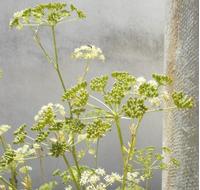 Foto: Petržel zahradní
