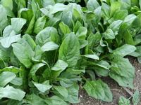 Foto: Špenát zelený