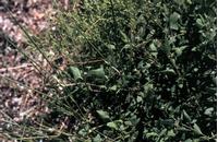 Foto: Lebeda rozkladitá
