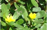 Foto: Šrucha zelná
