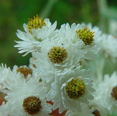 Foto: Plesnivka perlová