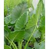 Foto: Alocasia macrorrhiza