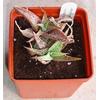 Foto: Aloe rauhii reynold