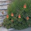 Foto: Aloe aristata