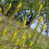 Foto: Zahořanka žlutá