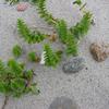 Foto: Honckenya peploides
