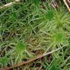 Foto: Rašeliník kostrbatý