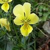 Foto: Violka žlutá sudetská