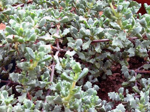 Foto: Lampranthus blandus